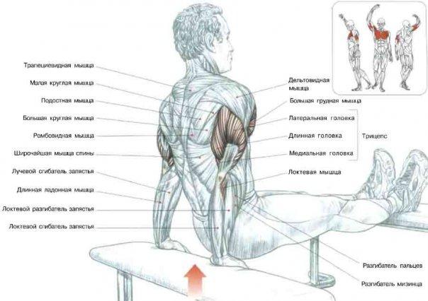 Отжимания трицепсами спиной к скамье.jpg