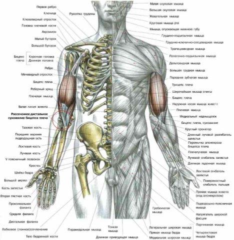 Разрывы сухожилия бицепса плеча.jpg