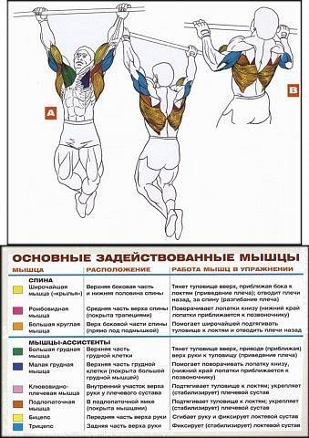 задействуемые мышцы при подтягивании.jpg