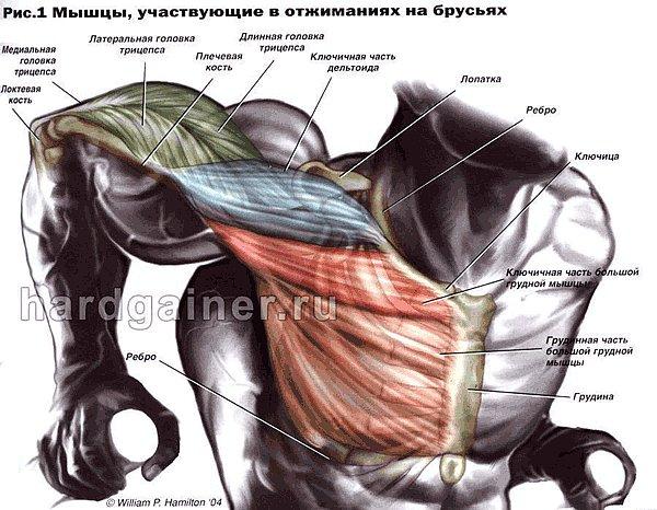 мышцы при отжиманиях на брусьях 2.jpg