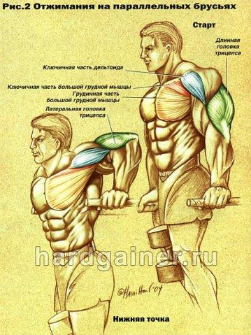 мышцы при отжиманиях на брусьях.jpg